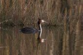 Great Crested Grebe Before Gras