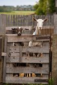 A Brown And A White Goat Stare Over A Tall Farm Gate