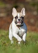 Purebred French Bulldog poster