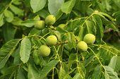 Unripe walnuts