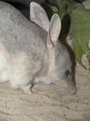 close up of an Australian Bilby