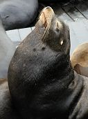 California Sea Lion In Profile