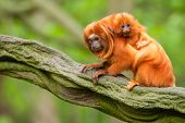 Cute Golden Lion Tamarin With Baby