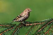 Pine Siskin Perched