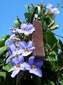 Neve Monosson Thunbergia Grandiflora Flowers 2010