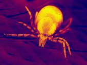 stock photo of ixodes  - extreme close - JPG