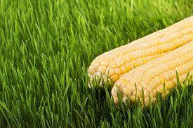 picture of corn cob close-up  - Corn cobs on green grass dew on the green grass fresh corn harvest healthy food vegetarian food corn close - JPG