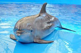 foto of bottlenose dolphin  - one bottlenose dolphin in pool blue water - JPG