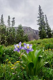 stock photo of columbine  - Purple columbine in a field of wildflowers near Silverton - JPG