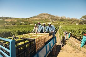 foto of grape  - Workers loading boxes of grapes on a tractor trailer after harvesting - JPG