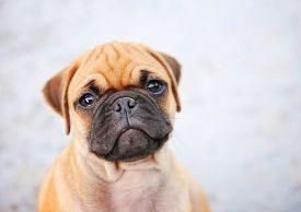 image of chug  -  a cute chihuahua pug mix puppy  - JPG