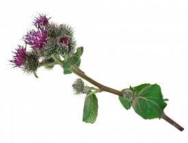 foto of spiky plants  - Medicinal plant - JPG