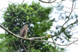 foto of serpent  - Crested Serpent Eagle resting on a perch in forest - JPG