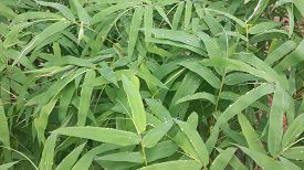 picture of bamboo leaves  - Background style bamboo leaves bamboo leaf green shoots just after several days of rain - JPG