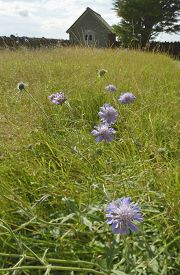 stock photo of hughes  - Field Scabious  - JPG