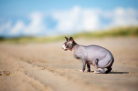 picture of nudist beach  - one canadian sphynx cat on the beach - JPG
