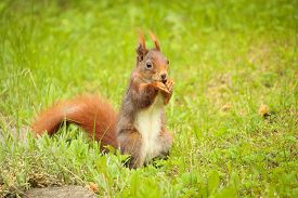 stock photo of ground nut  - squirrel sitting on the ground eating a nut - JPG