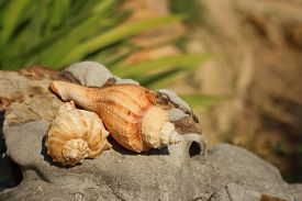 stock photo of conch  - conch shell on brown stone at the garden - JPG