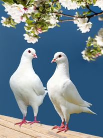 image of pigeon  - two white pigeon on flowering background  - JPG
