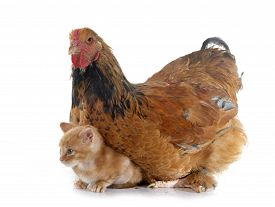 stock photo of brahma  - brahma chicken and kitten in front of white background - JPG
