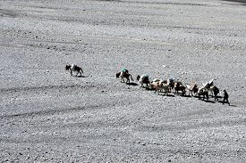 image of caravan  - The caravan of mules in mountains Tibet of Nepal