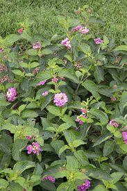 stock photo of lantana  - Pink flowers of plant  - JPG