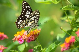 picture of lantana  - Lime butterfly Papilio demoleus on Lantana flower - JPG