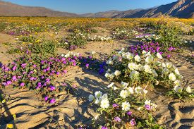 stock photo of sand lilies  - Very colorfull blooming Anza Borrego Desert in California - JPG