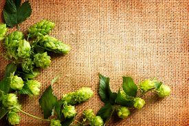 stock photo of brew  - Fresh Hop on burlap close up - JPG