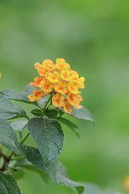 pic of lantana  - Beautiful yellow orange lantana camera flowers bloom - JPG