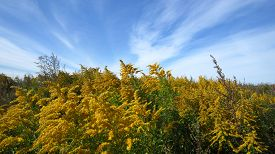 picture of goldenrod  - Flowering plant of Canadian goldenrod and blue sky background - JPG