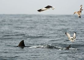 stock photo of fin  - Fin of a white shark and Seagulls eat oddments from prey of a Great white shark  - JPG