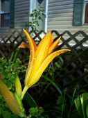 Dew Covered Lilly