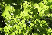 Tilia (Linden) leaves