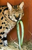 Serval with Dinner