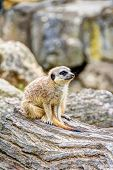 Постер, плакат: Meerkat In The Savannah