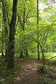 Shady Path In Natural Deciduous Forest