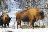 picture of aurochs  - two big bisons in the winter forest - JPG