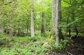 stock photo of natural resources  - Old trees in natural wet deciduous forest europepolandbialowieza national park - JPG