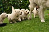 Puppies flocking after their mother