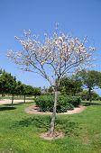 White Dogwood Tree in Bloom
