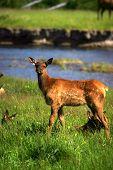 Baby Elk In Yellowstone
