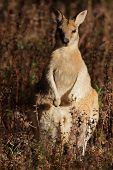 Wallaby ágil