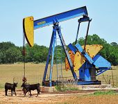 stock photo of brahma-bull  - Oil well pumper in West Texas with Brahma calfs - JPG