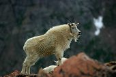 Mountain Goat Mt Evans 3