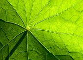 Detailed Green Leaf