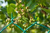 Unripe Chokeberries (aronia)
