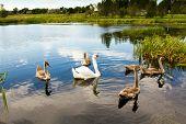various swan