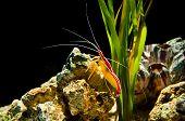 Deep sea shrimp