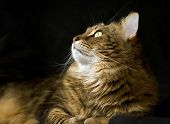 Adult Maine Coon Cat Looking Left